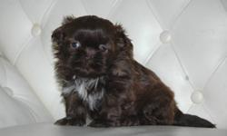 We have 2 beautiful Chocolate Shih Tzus available, one male and one female. They were borned on December 7th, 2011, they are ready to go a loving home on Jan 28, 2012 . Each puppy comes with CKC paper, 1 year health guarantee, microchipped and first shot,