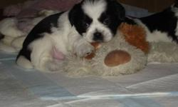 PUPPIES   Shih Tzu puppies for sale. Litter of four (4) only two (2) left, one black and white and one tri-colour.  Both are males. Have been home raised and handled since birth.  Very intelligent dogs and puppies.  Alert when someone walks into room.