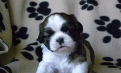 Shih Tzu Puppies $400. Only the female left. Raised in a loving home and are well socialized.  Needled and dewormed.  Vet checked.  Also one year guarantee.  Housebreaking starts at 5 weeks of age with kenneling to the outside.  Will also be familiar with