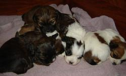 Beautiful shih tzu x puppies in need of loving families. 1 male is still available. Mother is a shih tzu X and Father is a Bichon X. We can hold the puppy until after the holidays. The puppies will have 1st shots and de-worming.
