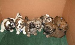 All the puppies have been sold. Thanks to all for the interest. We may breed again next year (spring 2013) so note the Phone number and watch for our add. Great parents make great pups.