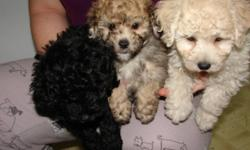 Beautiful Shipoo puppies! Non-shedding, approx. 8-10lbs when fully grown.  They are vet checked, have their 1st needles, and come with a 1year written health guarantee. Please call 905-945-8975 Sorry no e-mail