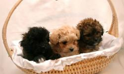 Christmas Babies!! Hypoallergenic, these small allergy-friendly puppies will be ready for their new homes around Christmas to New Years ? the perfect Christmas gift!! These gentle and loyal little babies are spunky and alert, they make friends easily,