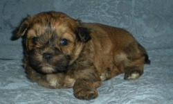 Shih Tzu X Toy Poodle, (Shihpoo)   These are males. Will be ready in time for Christmas They don't shed and are hypoallergenic,(Good for people that have allergies). They come with first set of shots and dewormed twice.   Their dew-claws have been removed