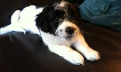 Male Shih Tzu Yorkie Bichon Puppy, black and white. Beautiful little guy, very snuggly and playful. He is ready to go to his new home today! Eating solid food, weaned from mum, Vet Checked, 1st shots, and Dewormed.  Hypoallergenic and Non-Shedding. He has