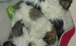 We have a wonderful litter of Shihpoo Puppies, they all have great little personalitys very social, love to be played with ,we have a geat start on crate training. Potty training is coming along nicely.The pups have a clean bill of health from the Vet