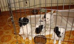 4 beautiful, playful Shih Tzu, Poodle cross puppies for sale.  We have 2 males and 2 females.  They are all mainly white with some black markings.  Born Nov. 14, and will be ready to go to their new homes on Jan. 14.  They are well socialized, hypo