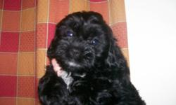 I have one Baby Girl left...She is a beautiful little Shihtzu/Poo..   All black with a little white under her neck.....She will be between 5-12lbs   She is ready to come home on Saturday Dec 3....   Happy and playful loves children...   Please email or