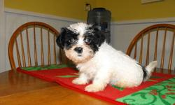 Looking for a great gift for that special someone just in time for Christmase?    Why not choose the gift that keeps on giving?  A PUPPY!   I have 9 week old Shihtzu puppies just waiting for you!  These puppies are loving, gentle, and cute as a button.