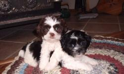Going to Winnipeg on wednesday the 12th and bringing the pups along. If your intrested you can have a look at them. Cell 204 523 6476. ShihTzu/ Bichon cross puppies born Aug 22,2011 so are now 7 wks old. They have been Vet Checked , 1st Shots, Dewormed
