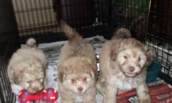 we are asking 550obo each we have two males and one female Shihtzu/bichon puppies soft and cuddly friendly dogs.  parents are our pets they are nonshedding hypoallergenic and make great pets. firstshots and deworming done  paper trained  and ready for new