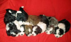 Six  ADORABLE Designer Puppies...   Four Females and Two Males. The mother is a Beautiful Shihtzu and the Father is a Handsome purebred Minerature Austrailian Shepherd, from showline breeding. All the puppies are eating well on their own and are all very