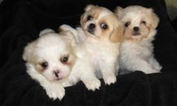 Shihtzu Morkie cross puppies.  2 females, 3 males.  Both parents are under 12lbs. Please call for more information.  Price listed is per puppy. Vet Checked & 1st shots given