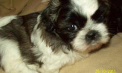 Shihtzu puppies Home raised 3 males, 1 female $350  Adorable bundles of joy Ready to go for Christmas