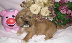 Shih-Tzu X Toy Terrier Puppies!!   These puppies are vet checked, have their 1st shots, Vet records and have been dewormed. The 1st 4 pictures is the female. There is  1 Male, and 1 Female to choose from. For more information please call or txt