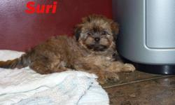 Female Shorkie puppy. (shih tzu yorkie cross).   Awesome family pet.  Will reach 8 to 9 pounds.  Non-shedding.  Will have 1st and 2nd shots, vet check, and be dewormed. Very friendly personality; loves to play! Puppy has begun house-training.  Parents are