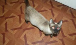We have a 2 year old Seal Point Siamese Cat for sale. She is very friendly and is well accustomed to other pets. She has had her shots and is unaltered.   If you are interested please give me a call or send me a message.