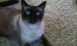 Great male cat!! Bam Bam is a fixed Siamese cat. He is great with adults, kids and other animals. He is a cuddly guy who enjoys to be pet. He has never scratched or bitten anyone. We just recently had a baby girl and she is showing a lot of signs of being