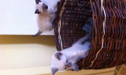 We have 2 male siamese kittens left that really need to find new homes before christmas arrives. We would like them to go together but seperate would be ok. They have been raised with children and small dogs. They have awesome personalities and are super