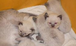 Bella and Brody are proud parents of 7 lovely Seal Point Siamese kittens they will be ready the week before Christmas.The kittens will have had there 1st shots and been wormed,Still with mom at present for at least another two weeks then they will come