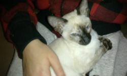 siamese kittens good with children and other pets. mom and dad on site. home raised and very well socialized and very affectionate.