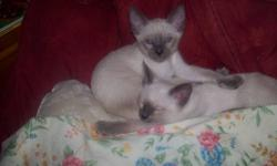SIAMESE KITTENS Blue point, DOB Aug 29. Males left. Raised underfoot in our kitchen with children and large dogs. People loving, sweet babies, ready for forever homes by November 7, or when fully weaned. Will be dewormed and have vet check and 1st