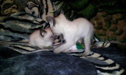 wedgy faced siamese from registered siamese parents. are ready to go soon will be in calgary next sunday the 15th. they have been dewormed and will be getting their vacinations soon. social+litter trained. three sweet males and one seal female available.