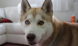 I am selling our pet SIBERIAN HUSKY, 2 yr. old He is fixed and vacccinated. He is playful, won;t chew shoes. He is brown and white. His name is KOBE. He has collar with a name tag. We cannot take care of him , because everybody is working and always not