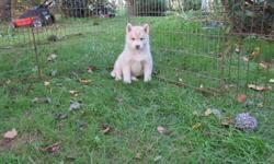 Siberian Husky pup available now for her new home. Fat, healthy, and heavy boned. Dewormed, first vaccinations and first treatment of Advantage Multi. Please contact to make appointment for viewing. One red/white femlae . Next litter is due  this coming