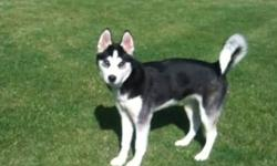 19 week old female siberian husky, very friendly, loves to play, to a good home only. Preferably to a home with a large fenced yard, as she does love to run, not suitable to townhouse. Would love to keep her but relocating for school and can not bring her