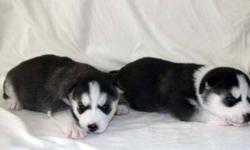 New litter of beautiful CKC reg'd Siberian Husky Puppies born the 1st. of October. These new baby's will have pictures available in the next couple of weeks. Parents are family owned and raised from pups. When quality matters when choosing your pet .