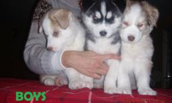 We have 3 male and 2 female siberian husky puppies available. We can deliver to Saskatoon on January 13th. They'll have first shots and will be dewormed. Please e-mail or call if interested. Their mother is silver, and father brown and white.