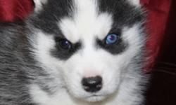 """WE HAVE 2 LITTER OF SIBERIAN HUSKY PUPPIES . ~The 1`st litter there is( 2 males & 2 females available) Born Nov 11 2011, Mom is Red & White and Dad are Black & White with Blue Eyes and Both are C.K.C Reg""""d ( these pups well not be reg'd ) ~ The 2nd litter"""