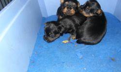 JEANSA KENNELS IS NOW ACCEPTING DEPOSIT ON 2 MALE SILKY TERRIER PUPPIES CKC REGISTERED WILL BE TATTOOED FIRST NEEDLE VET CHECKED TAILS DOCKED HEALTH GUARANTEE CALL 227-4553