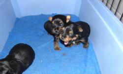 SILKY TERRIER PUPPIES CKC REGISTERED. WILL HAVE FIRST NEEDLE, TATTOOED, DE-WORMED, VET CHECKED AND HEALTH GUARANTEE. SILKY TERRIER IS A HYPOALLERGENIC NON SHEDDING TOY BREED. THE SILKY MAKES A EXCELLENT FAMILY PET. DEPOSIT IS REQUIRED TO HOLD PUPPY. MALES