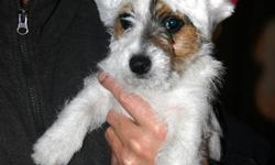 This very adorable girl is a shorty jack Sassy is very tiny and will not grow to be very big. Tri-colour rough coat (wire haired)     Shots Dewormed Genetic Health Guarantee Vet checked Registered Shorty Puppy package= starter food, toys, harness & leash