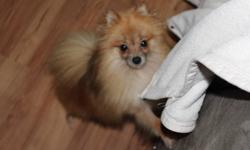 I am in need to rehome my 1 year old 4lb pomeranian. She is orange and very fluffy! She is very very lovable and loves kids and other animals. I have a 15 month old son and he will pull her hair and chase her and she thinks it is great! She loves walks,