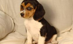 Small beagle puppies. They will be small dogs full grown. 1 female, 1 male. 1st shots & dewormed. $380.00. Phone 780-698-2585. Come with a puppy pack. Free partial delivery available. Pic #1 is the female. Pic #2 is the male.