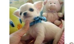 I am looking for a small breed puppy to spoil as a pet!  will be small when fully grown like yorkshire terriers,chihuahuas,malteses ,pomeranians , shitzu, smooth mini dash hound ect...Please e-mail me with price and pictures if you have any! I also can