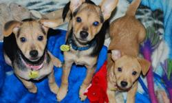 If you didn't get a chance to attend our small dog adoption event over the weekend, you can always call or email to arrange a private meet and greet with one of our dogs! All of the dogs come spayed/neutered (except the 12 week old puppies are too young