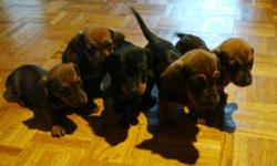 We have available 3 beautiful Males and 2 adorable Females. These pup will grow to be approx. 8lbs for the smaller ones and 11lbs for the bigger ones. Dad is black and tan, and 8lbs Mom is Red and black, and 11lbs. Pups are dewormed and will have 1st