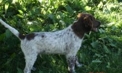 Looking for that versatile hunting companion? These dogs will have a strong hunting instinct yet a true family pet, they are so versatile that they try and help us handle livestock. Easily trained due to a strong hunt drive, and eager to please