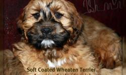 Contact no is on 1 st picture These Soft coated wheaten /cockers are ready to go. Should mature to about 20-25 lb..They should not be any taller than a cocker. Low to Non shedding as the wheaten is a non shedding hypoallergenic breed. Sire is a Registered