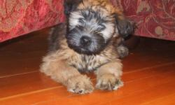 CKC registered Wheaten puppies that are nonshedding medium sized dogs. They are vet checked and come with their first shots, deworming and microchip. Puppies are sold under a pet contract. Wheatens are great playful additions to every family.
