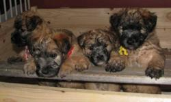 *Update November 5th - ONLY 2 MALES REMAINING* This is the final litter from Capebreah Kennels (breeder is retiring and closing kennel).  4 males & 1 female ready for November 11th.  $400 deposit required to hold a pup with remaining $400 due upon