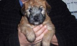 SCWT puppies born Oct 22. Will be ready to go at Christmas or can hold till after the holiday season. Wheatens are non shedding, non allergic mid sized family dogs. Our pups are raised in our home with children and pets.. Both parents on site. Located in