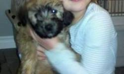 Beautiful Irish and american coated SCWT puppies. Excellent natured great with kids. Playful, gentle, quiet, loving and beautiful. 604-825-3966 www.wix.com/superhero0/sixangelskennels