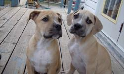 Boerboels for sale. Males and females. Tails docked, 1st shots. Please contact if seriously interested.
