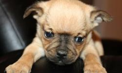 """Miniature Bulldog Puppies (Mini Bulldog Puppies) The pup was the runt of the litter and was born with """"hydrocephalus"""" water in the brain for this reason the pup is being homed as a """"special needs"""" pup for someone who is willing to help him out and raise"""