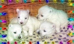 Reserve yours now!! Wonderful Westie Puppies Available Now and coming up!! Canadian Kennel Club Registered Puppies bred by responsible breeder breeding for pets with excellent temperament that make wonderful life long companions. Puppies will be